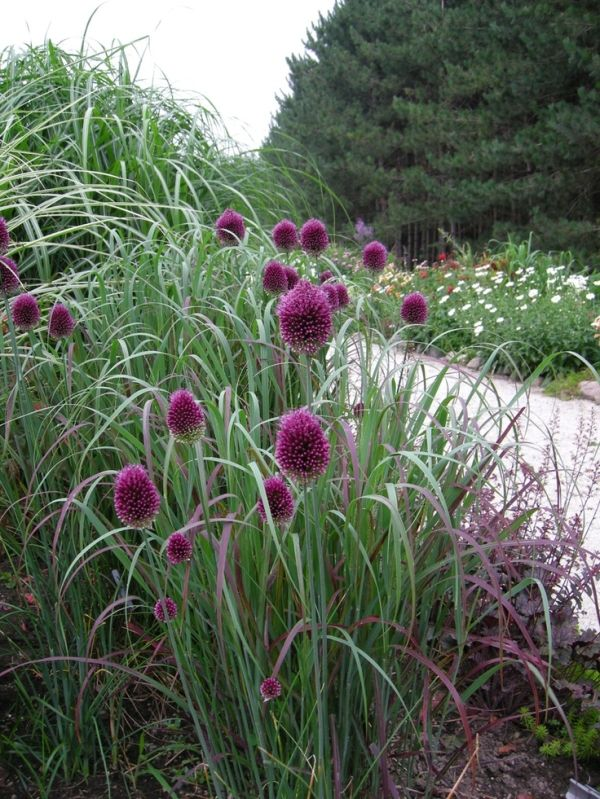 Allium Sphaerocephalon Drumstick Google Search Cottage Garden Farm Gardens Dream Garden Backyards