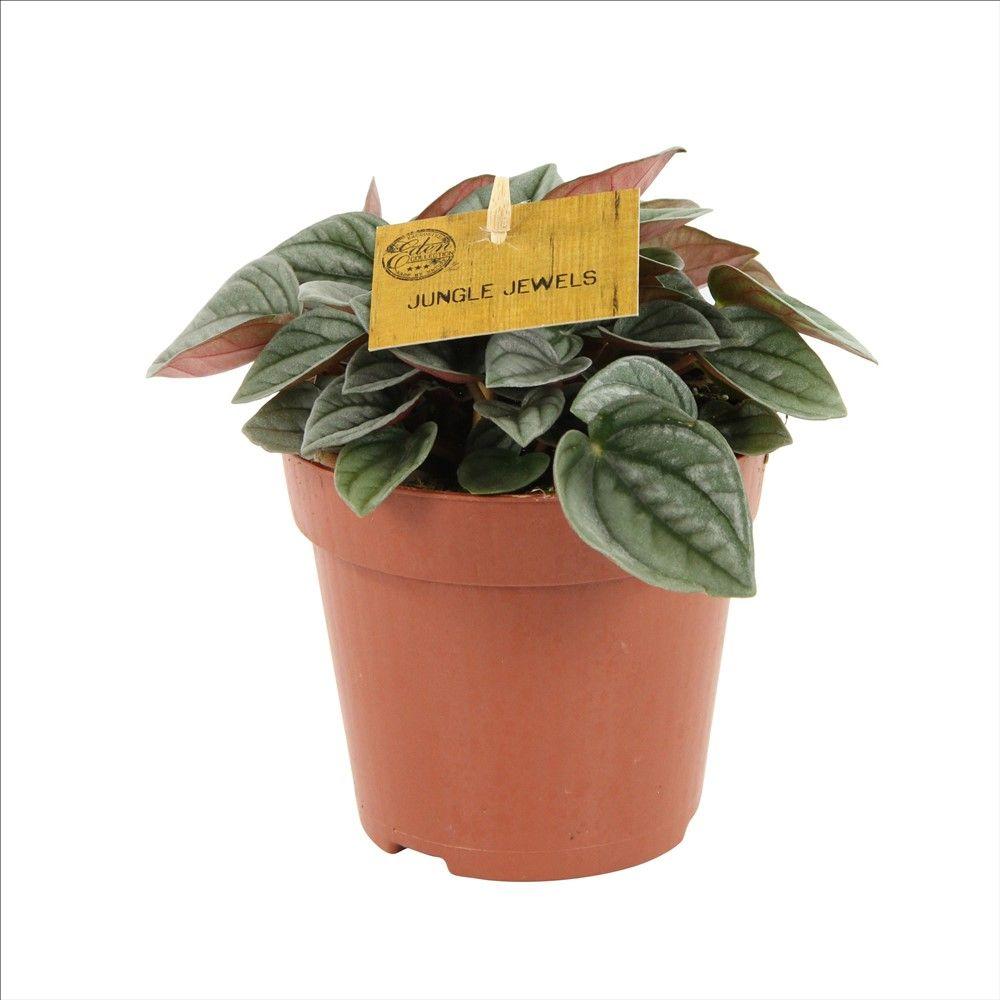 Peperomia Napoli Night Pot Diametre 12 Cm Peperomia Plant Peperomia House Plants