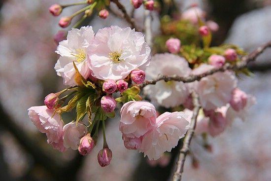 Ichiyo Cherry Tree Cherry Blossom Flowers Flowers Cherry Blossom