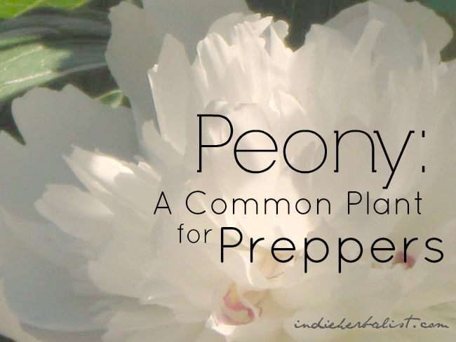Peony // a medicinal with many uses, adored by preparedness junkies // from the Independent Herbalist