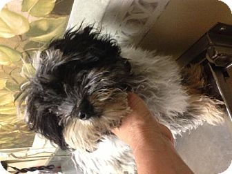 Lawrenceville Ga Shih Tzu Poodle Miniature Mix Meet Roxanne