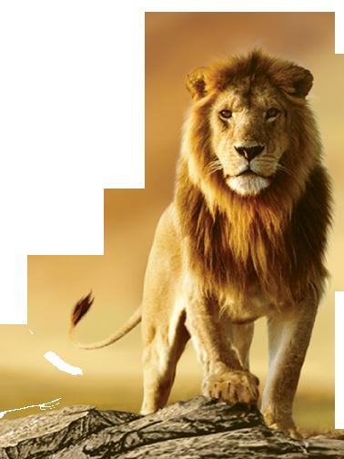 سكرابز اسود للتصميم صور اسود بخلفيه شفافه للتصميم للفوتوشوب Lion Images Lion Pictures African Lion