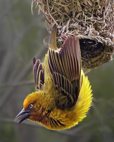 Cape Weaver (Ploceus capensis)  The Cape Weaver of South Africa is well known for its woven nests with downward facing entrances, suspended from a branch or reed.