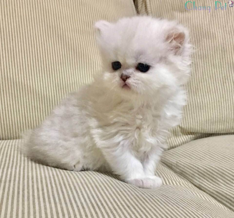 About Us Business Tomato Persian Kittens Kittens Cat Breeds