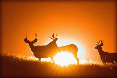 'Maultierhirsche im Morgenlicht' von Dirk h. Wendt bei artflakes.com als Poster oder Kunstdruck $23.37