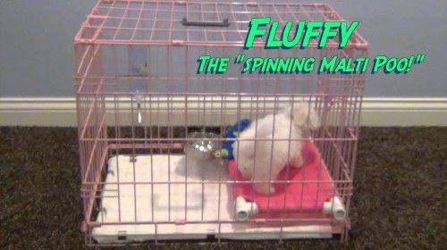 How Do You Potty Train A Maltese Puppy Potty Training A Maltese