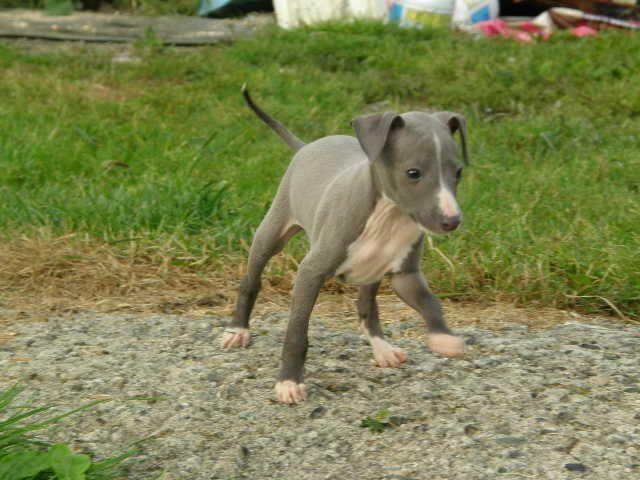Italian Greyhounds Maine Italian Greyhound Puppies For ...