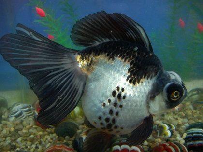 Goldfish del criadero de los japoneses aquarium pez for Criadero de peces goldfish