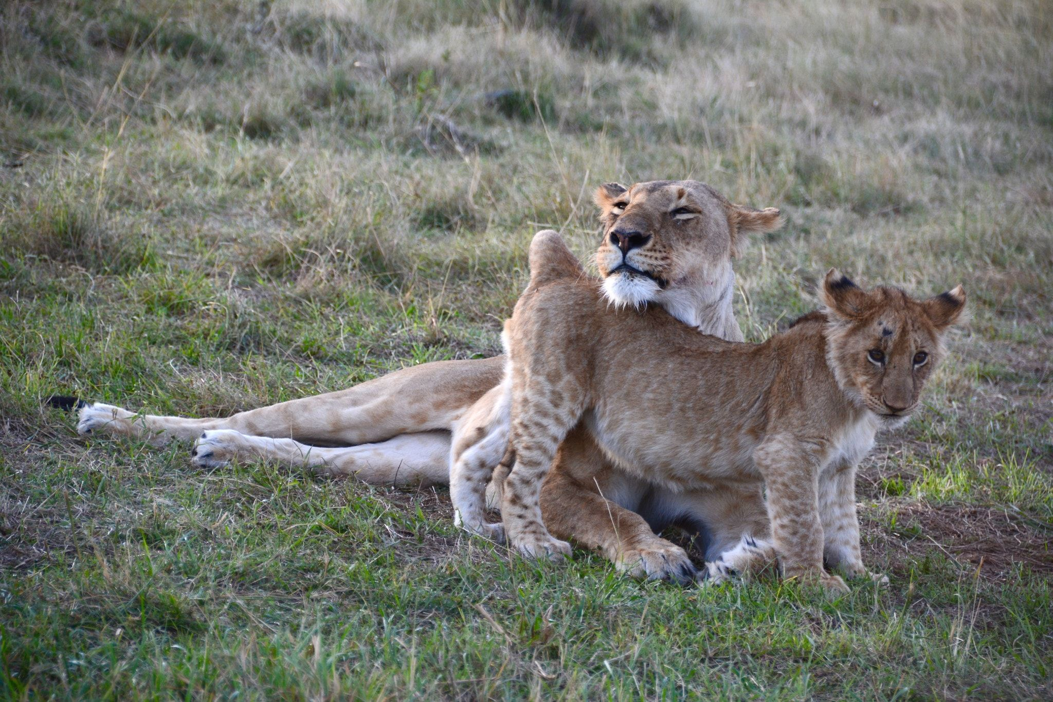 Under mom's protection. - Picture taken in Masai Mara, Kenya, in October.