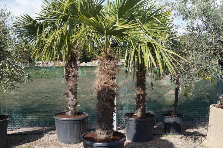 Chinesische Chinesischechinesische Hanfpalme Palme Mediterran Garten Gestaltung Urlaubsfeeling Mediterrane Gartengestaltung Garten Design Gartendesign Ideen
