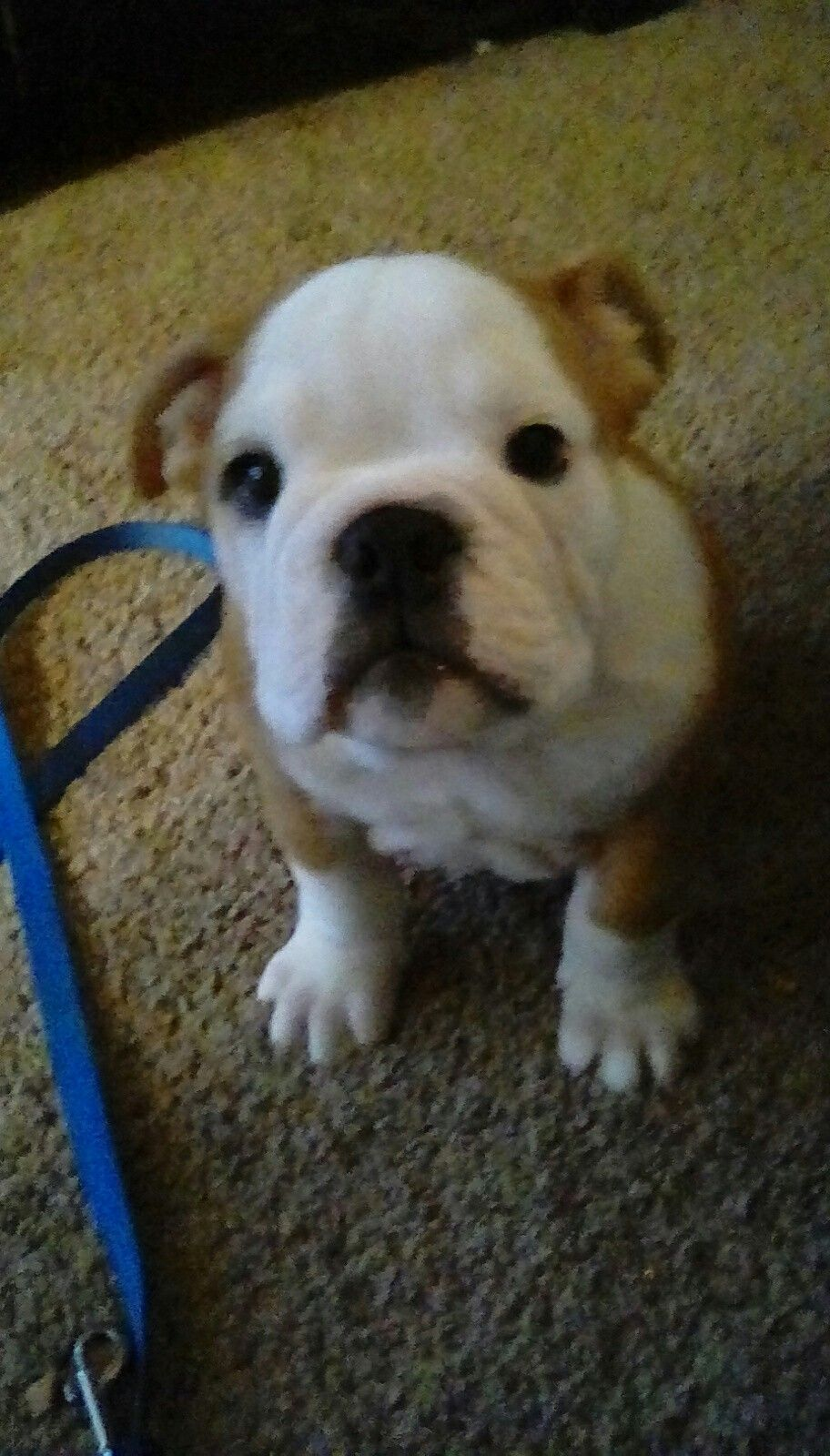 Pin By Mindi Brumit On Jenn S Bullies Dog Grooming Tips Dog