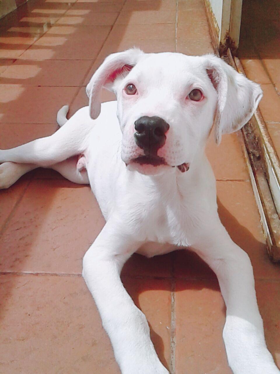 #dog #lovedogs #cachorro #puppy #pitbull #astro #miamor