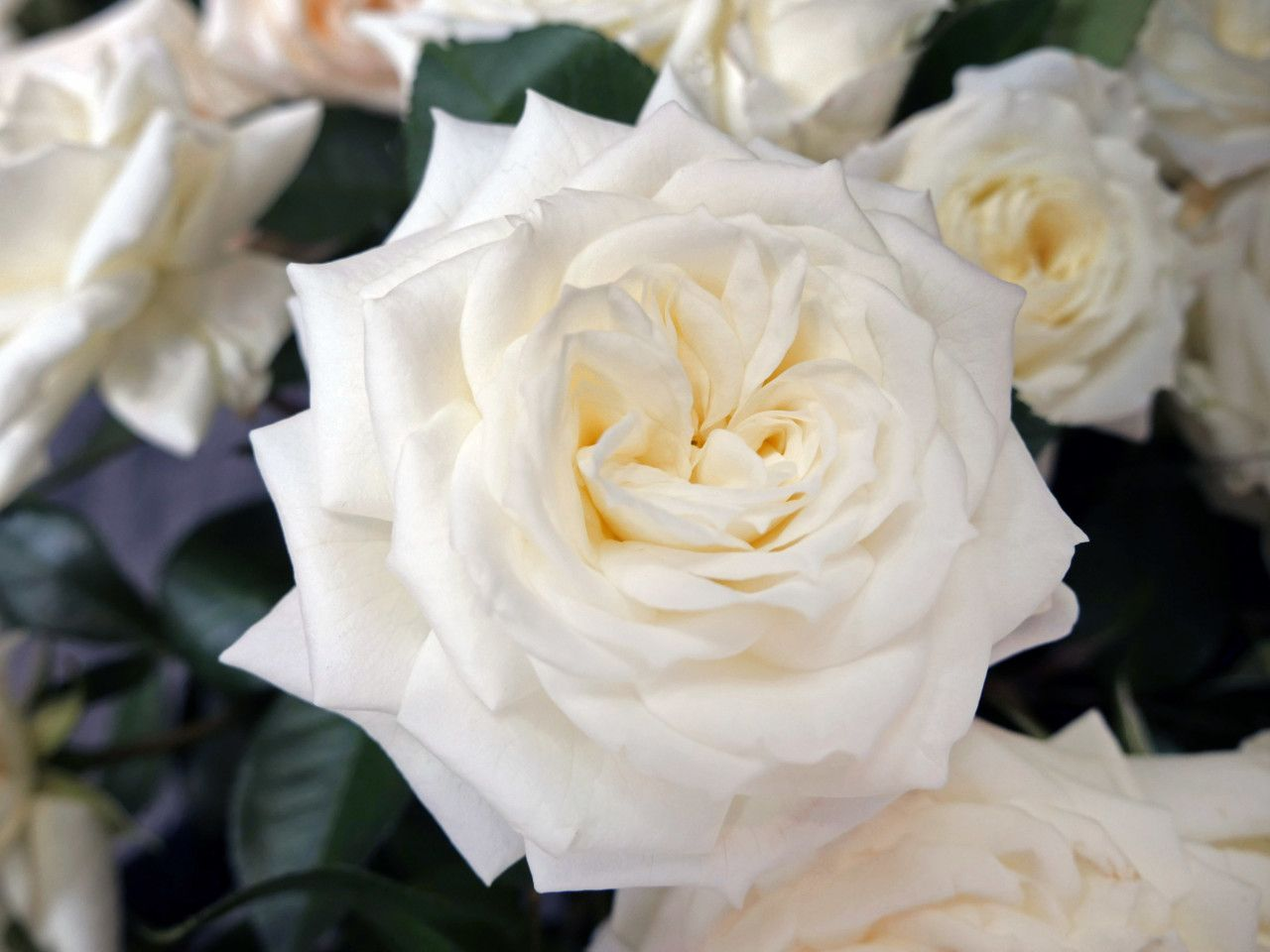 Alabaster Has A Light Lilac Fragrance A Great White Variety With