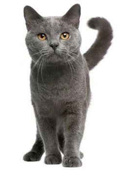 Chartreux Cat Breed Chat Chartreux Races De Chats Animalerie Chat
