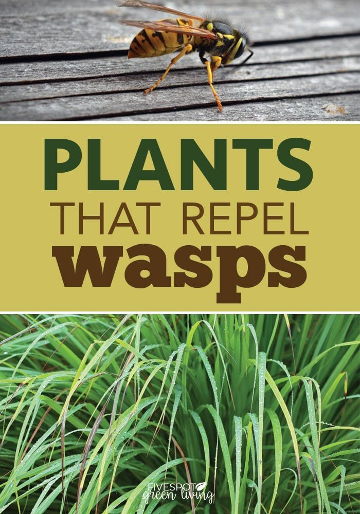 The Best Wasp Repellent Plants