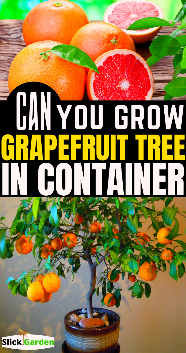 How Can You Grow Grapefruit Tree In Container Or Pots Grapefruit Tree Grapefruit Plant Potted Trees