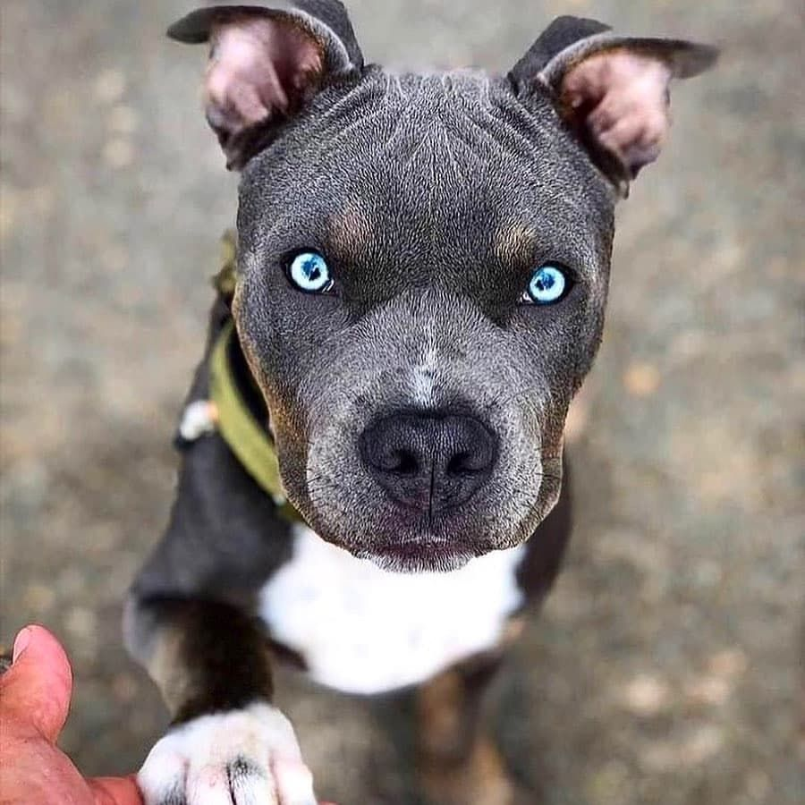 Where To Find Good Breeders In 2020 Pitbulls Pitbull Dog Puppy