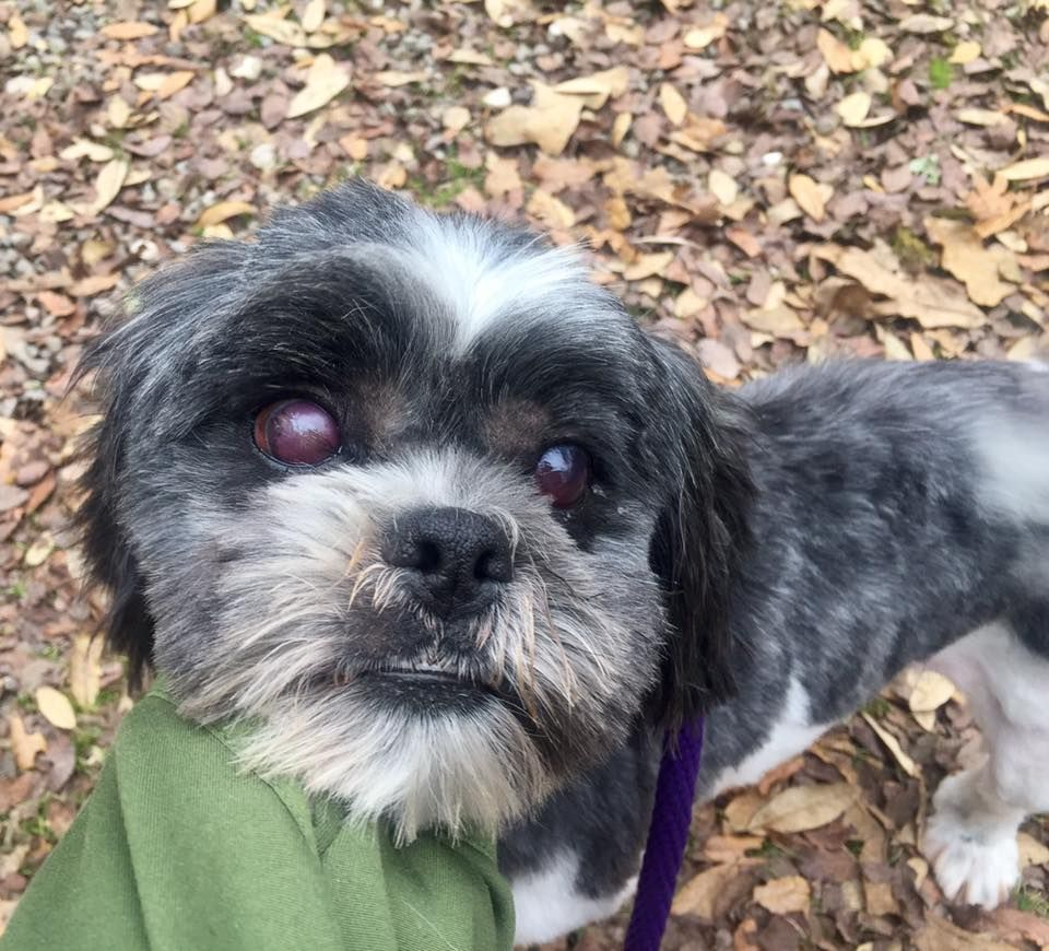 Shih Tzu dog for Adoption in Clifton, TX. ADN501298 on