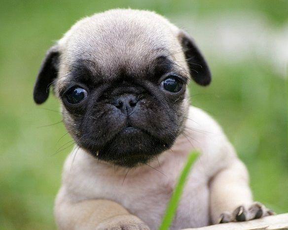 Cute Pug Puppy Cute Pug Puppies Baby Pugs Cute Pugs