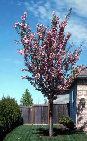 Purple Leaf Sand Cherry Can Be Tree Or Shrub Purple Leaves With