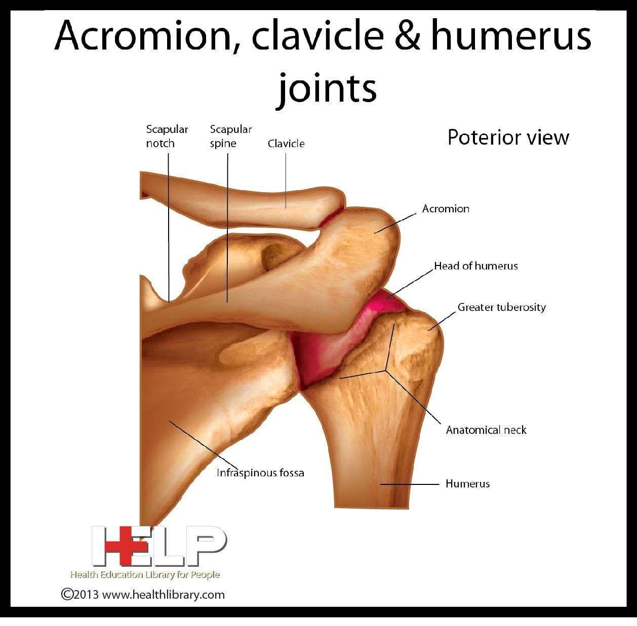Acromion Clavicle And Humerus Joints
