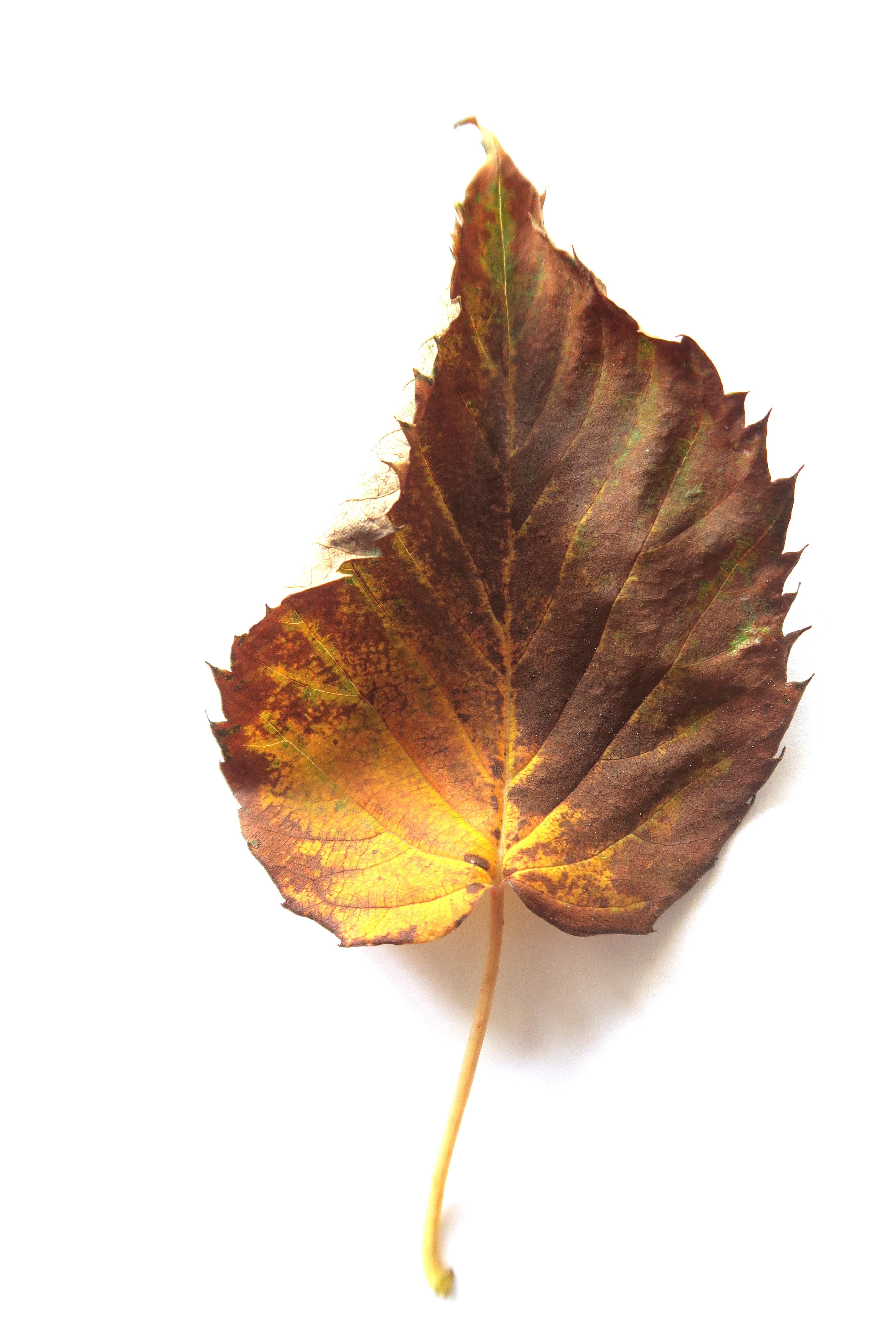 Autumn Leave from Denmark