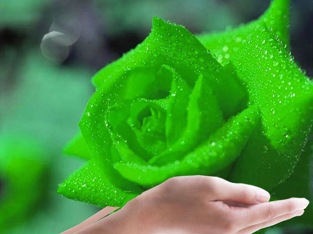 The Meaning and Top 19 Beautiful Green Roses | Green rose and Flowers