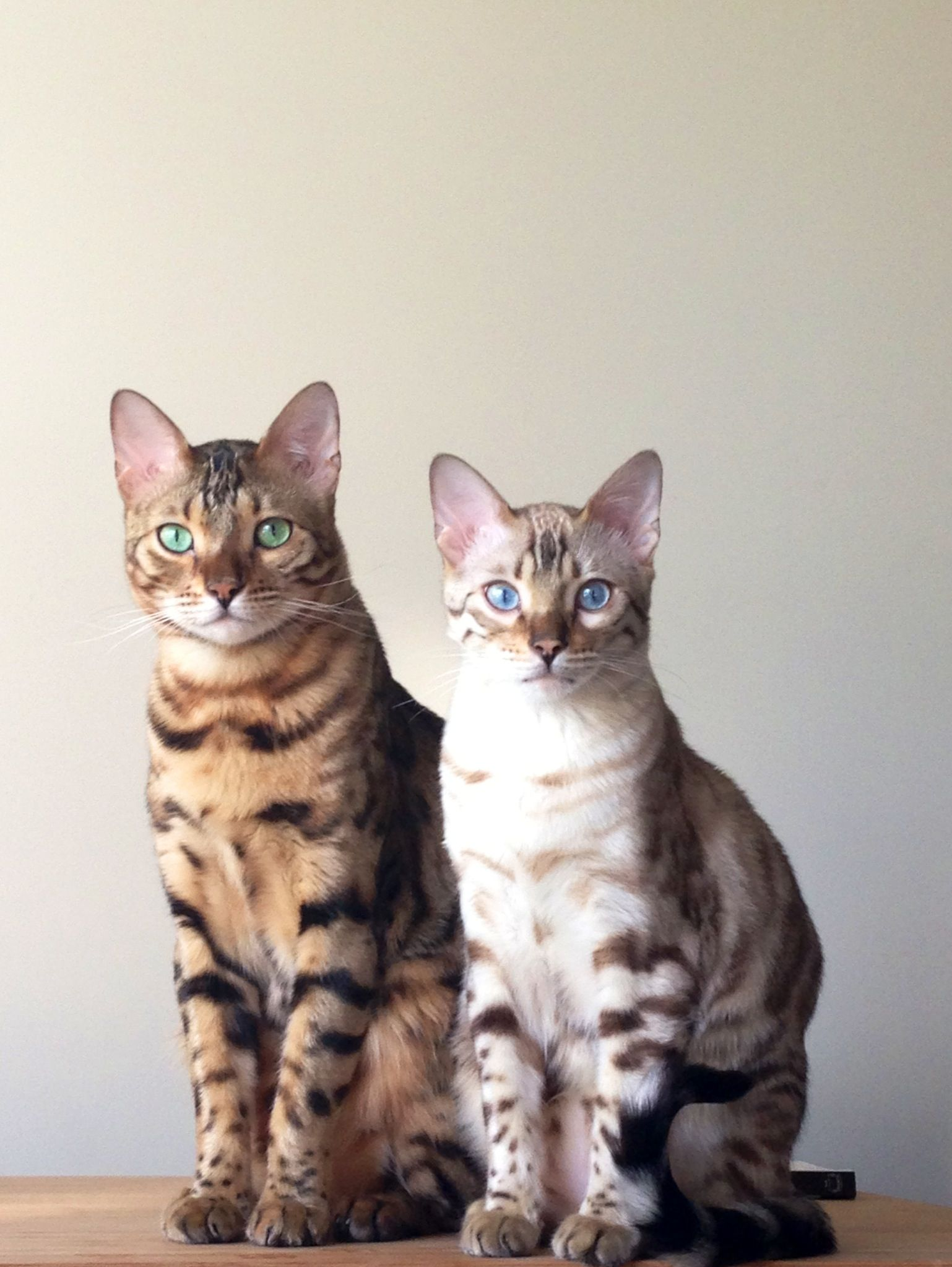 Bengal Katzen In Braun Weiss Bengal Katzchen Katzen Hubsche
