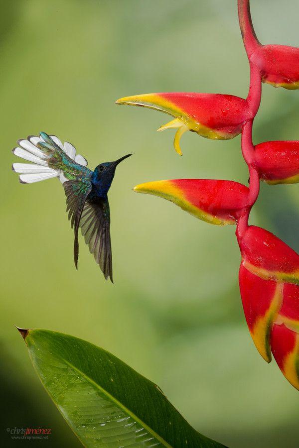 hummingbirds vogel kleine v gel und heimische v gel. Black Bedroom Furniture Sets. Home Design Ideas