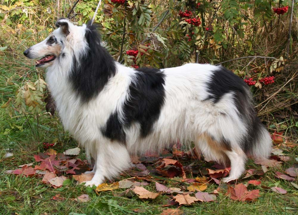 Harlequin Tricolor Rough Collie Not Sure What I Think About This