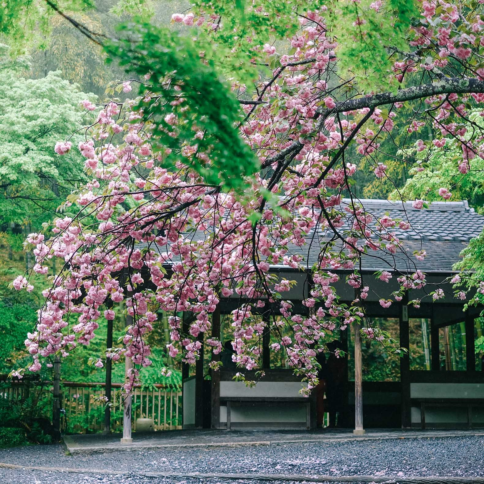 Where When And How To See Cherry Blossoms In Japan This Spring Cherry Blossom Japan Japan Spring Japan Destinations