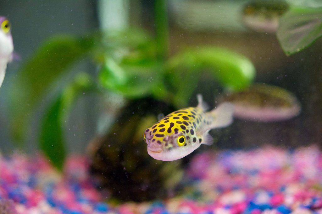 Green Spotted Puffer Gsp Tetraodon Nigroviridis Green Spotted Puffers Are Very Active And Full Of Personality That You Wi Fish Aquarium Fish Fish Supplies