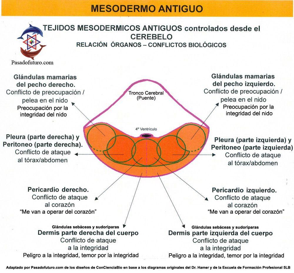 Mesodermo Antiguo Cerebelo Organos Nueva Medicina Hamer 3ra Ley ...