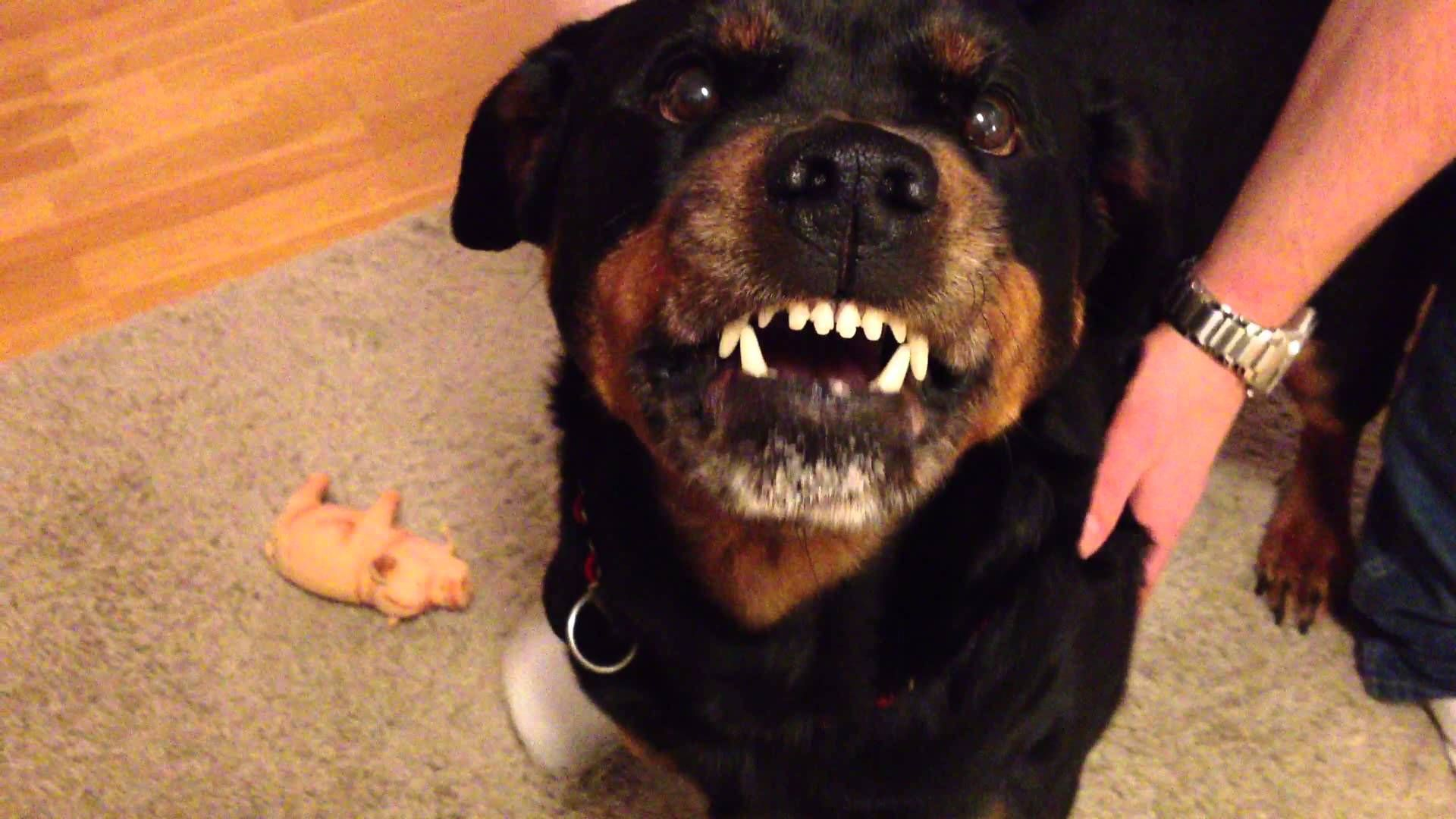 Angry Rottweiler 2 Rottweiler Rottweiler Dog Dogs And Kids