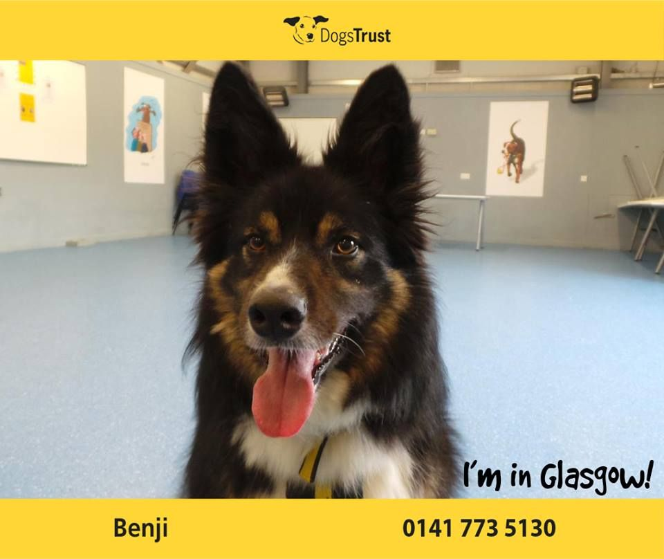 Benji At Dogs Trust Glasgow Is A Handsome Chap Who Loves His Exercise He Loves To Be On The Go Learning New Things Dogs Trust Dog Waiting Dog Adoption