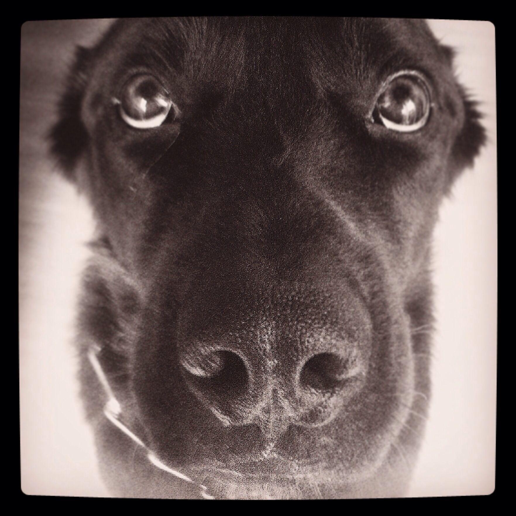 My Lovely Dog Baby Borador Borador Dogs Border Collie Lab Mix Doggy