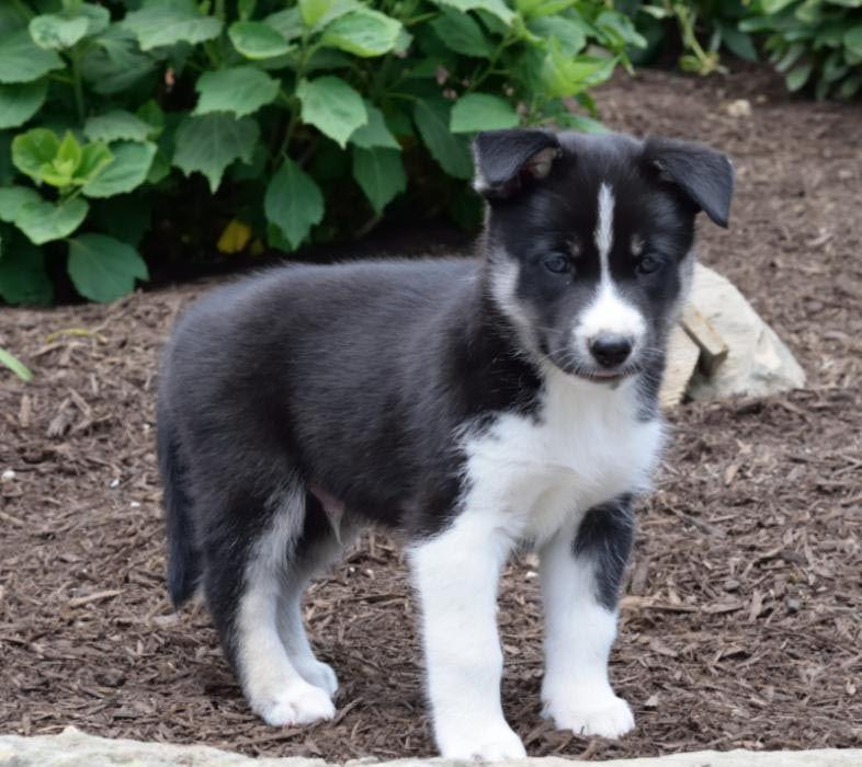 Newfoundland Husky Mix Puppies | Dog Breed Information ...