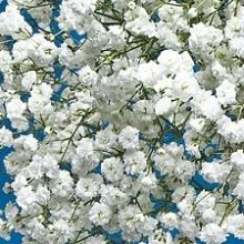 White Gypsophilia, Overtime (baby's breath) #BabysBreath