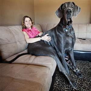 Giant George The Great Dane In Guiness Book Of World Records
