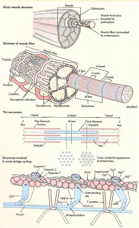 Pin By Gautam Saxena On Biology In 2020 Physiology Human Anatomy And Physiology Muscle Anatomy