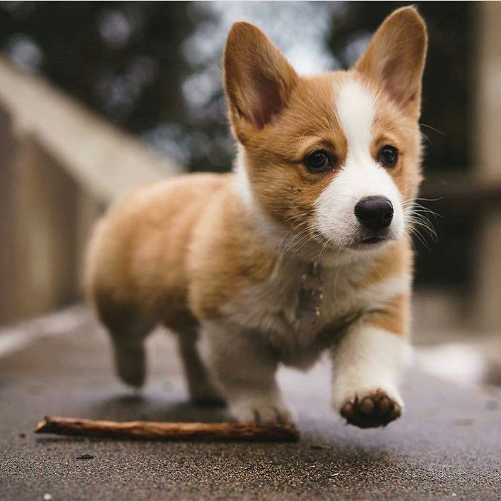 7 064 Likes 33 Comments Join Our Corgi Community