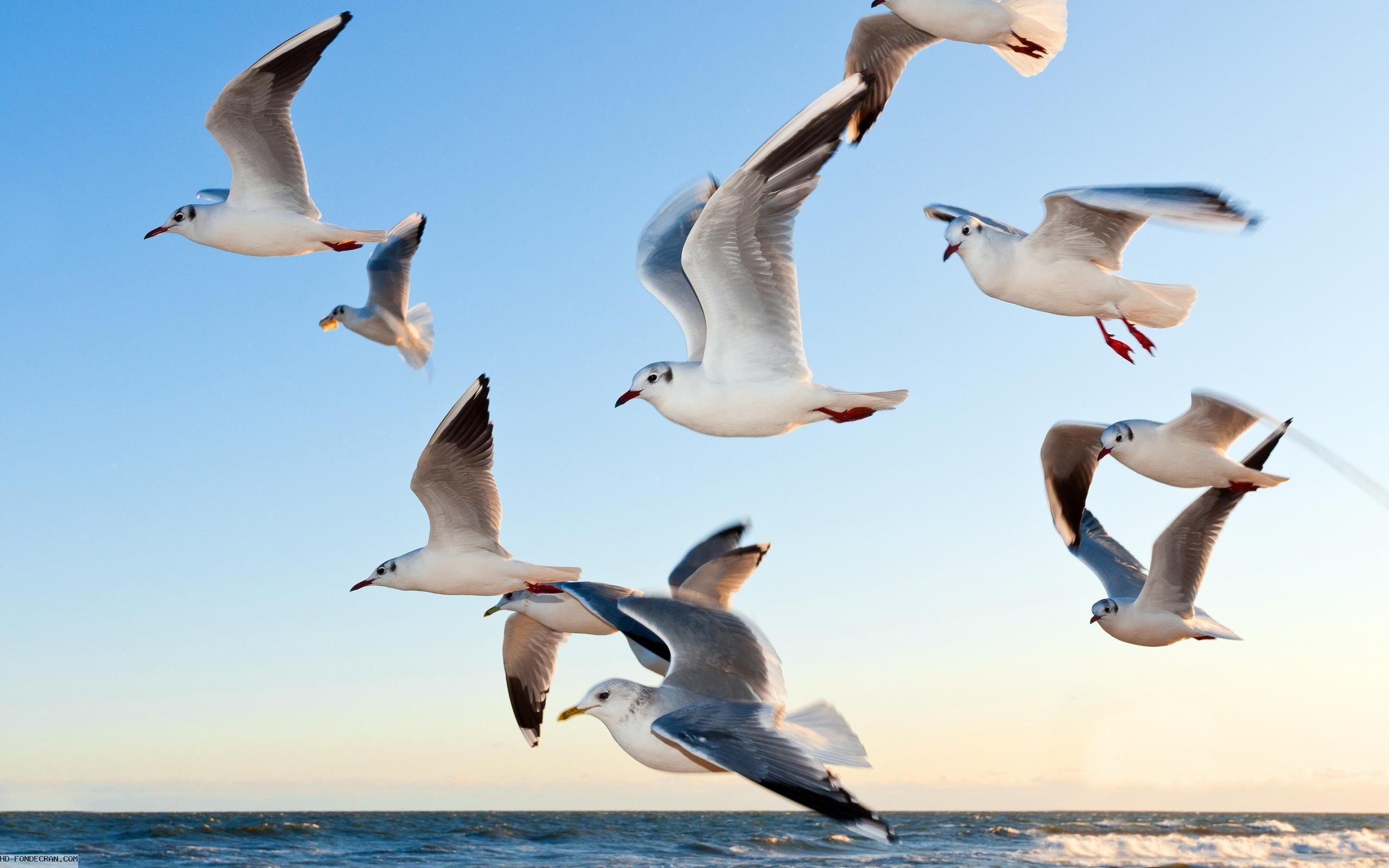 Fond d 39 cran hd mouettes qui volent dans ciel bleu gratuit animaux mouette oiseaux et animaux - Jeux d oiseau qui vole ...