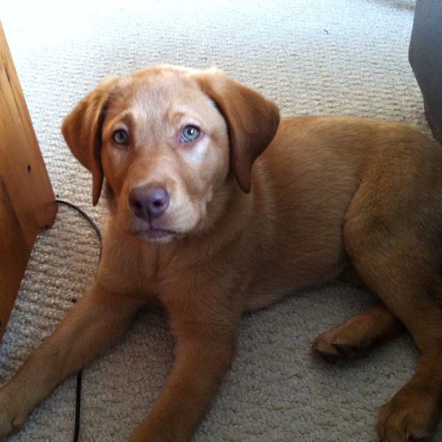 Fox Red Lab Keely Our Princess With Green Eyes Fox Red Labrador Fox Red Lab Red Labrador