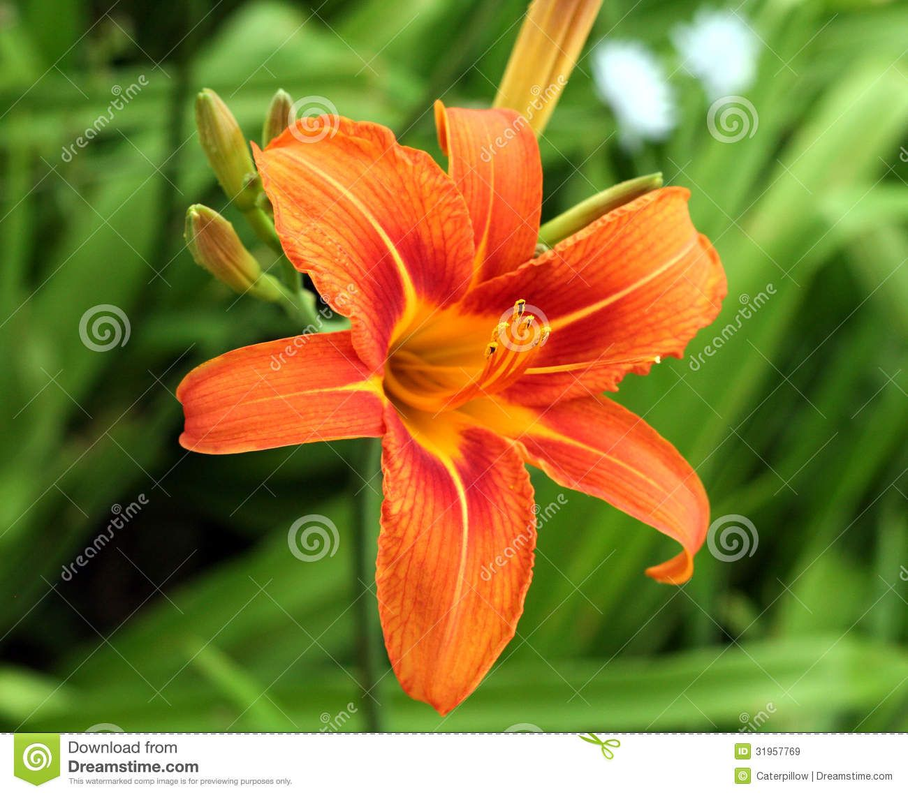 Tiger lily flower tiger lily flower royalty free stock images tiger lily flower tiger lily flower royalty free stock images image 31957769 izmirmasajfo