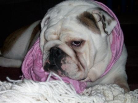 Chicago Illinois Usa Bulldog Rescue Bulldog Puppies Chicago