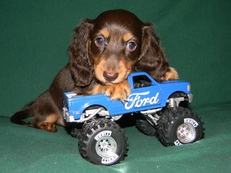 Edwards Extraordinary Dachshunds Http Www