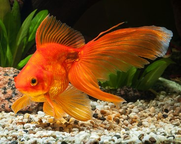 6 Best Goldfish Food For Growth Color 2019 Reviews Feeding Guide Fantail Goldfish Goldfish Goldfish Food