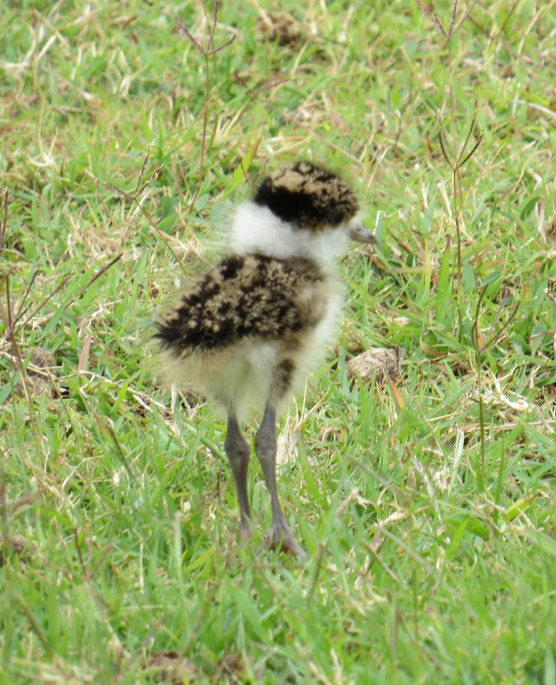 Ball of fluff on legs (Baby Plover) http://ift.tt/2fyo913