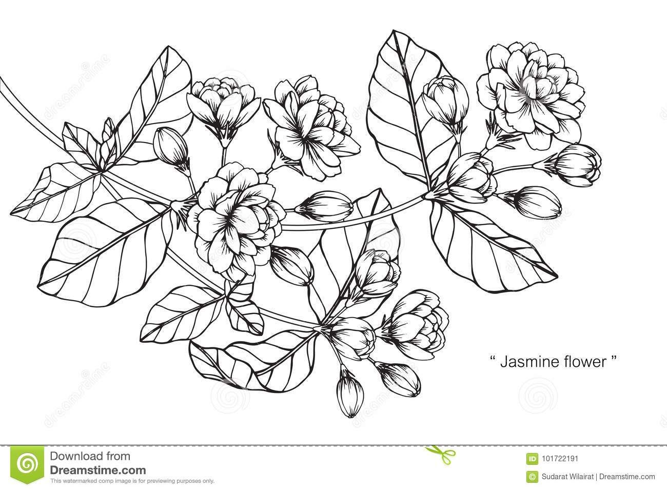 Jasmine Flower Drawing And Sketch. Stock Illustration