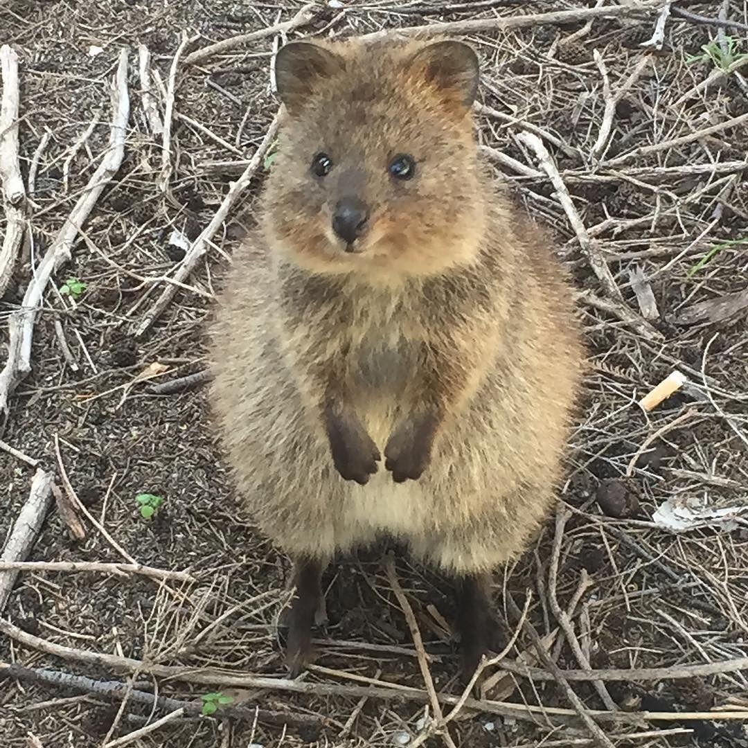 Rottnest island Western Australia- #quokka #quokkas #quokkalife #quokkasmile #australia #perthisok #WA #rotto #rottnestisland #WA #perth #animals #cute #oz #animal #smallcreatures #rottofest #socute by becksreidy http://ift.tt/1L5GqLp